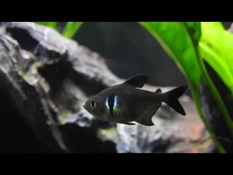 Black Phantom Tetras Close - Up
