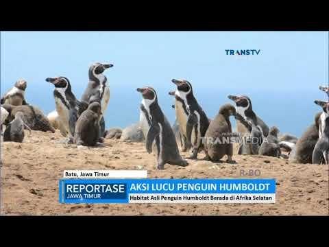 Aksi Lucu Penguin Humboldt di Koleksi Eco Green Park