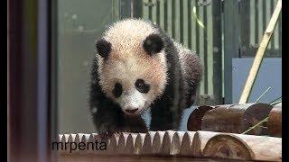 今日のシャンシャン 小雪の中お庭で遊ぶ 2月22日 上野動物園 香香 パンダ 小雪 検索動画 8