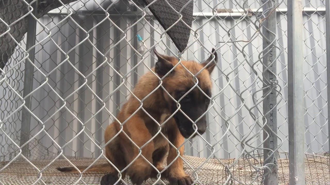 Trại chó Becgie Bỉ xuất bán chó con 2 tháng tuổi làm giống và  bao đầu ra