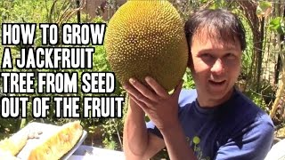 How to Grow a Jackfruit Tree from Seed out of the Fruit
