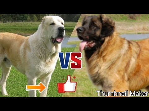 Алабай против Леонбергер. Alabai against Leonerger. Собаки. Батл собак.