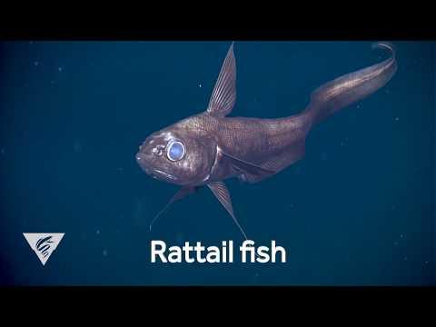 Weird And Wonderful: The Curious Deep-sea Rattail Fish