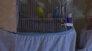 Muhabbet kuşları neden kavga eder