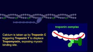 Troponin 1: Cardiac Regulatory Protein