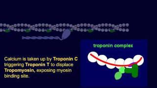 Troponin 1: Cardiac Regulatory Protein