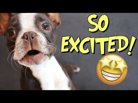 Boston Terrier puppy is SO EXCITED   Barkbox July 2019