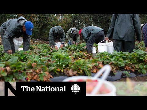 CBC News: The National: Farms remain a concern as Windsor-Essex enters Stage 3 of reopening