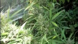 2010 Marijuana Weed Pot Grow Big Buds Australia
