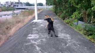 高山犬~驅趕運動步道上,有攻擊性的野狗 thumbnail