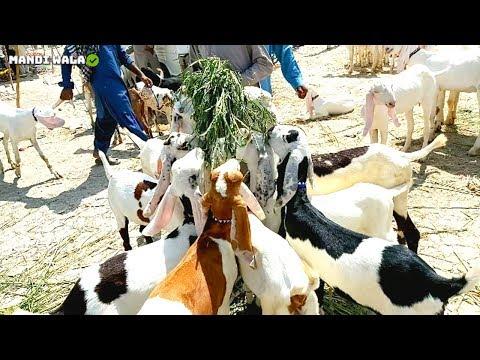 Goats Herd - Ablak Aur RajanPori Quality In MuhammadPur Mandi 2019-20