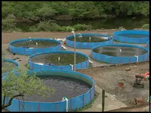 Cria de tilapias en jaulas flotantes primera for Como hacer un criadero de carpas