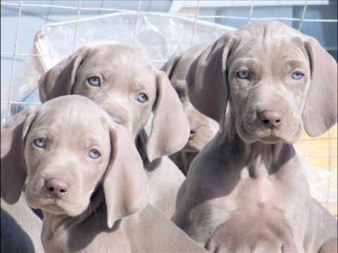 vegasweims weimaraner puppies   youtube