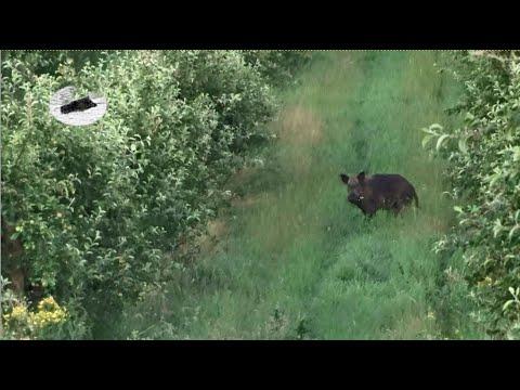 Wild boar hunting in July 2021 #2