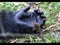 25-stone gorilla Bobo cradles with tiny bush baby in Cameroon