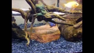 my other female elec blue ram laid eggs lol