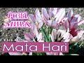 Нежный пестрый тюльпан Мата Хари / Tulip Mata Hari / Rozi Mira