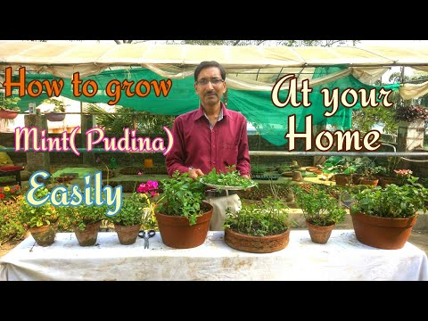 How To Grow  Mint ( PUDINA) Very Fast.