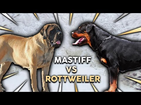 ROTTWEILER VS ENGLISH MASTIFF! What's The Best Family Guard Dog?