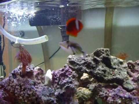 55 Gallon Saltwater Aquarium trigger fish and tomato clowns