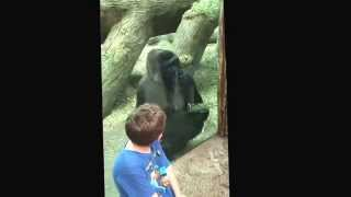 Gorilla speaking sign language. Columbus zoo