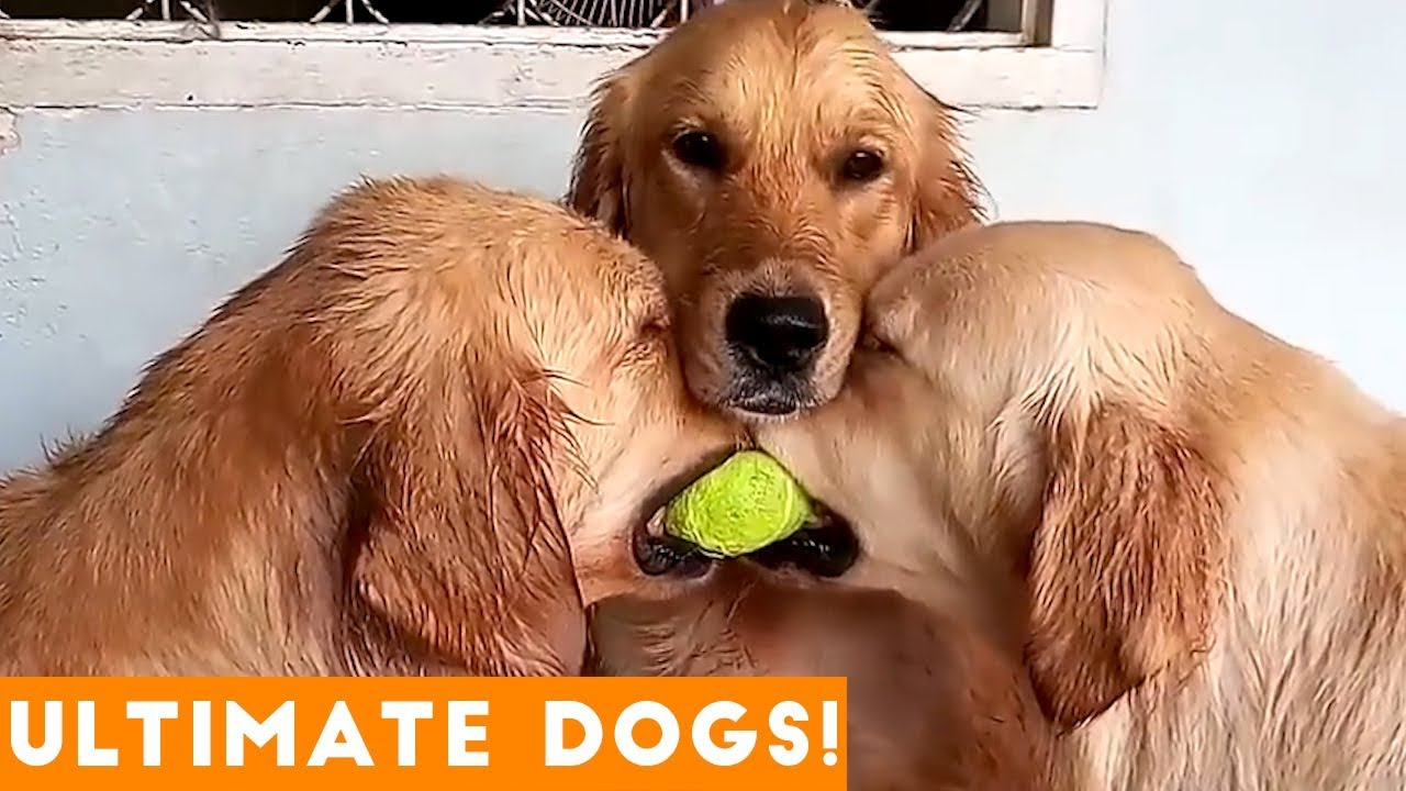 Uncategorized Funny Dog Vids ultimate funniest dog puppy compilation try not to laugh challenge 2018 funny pet videos