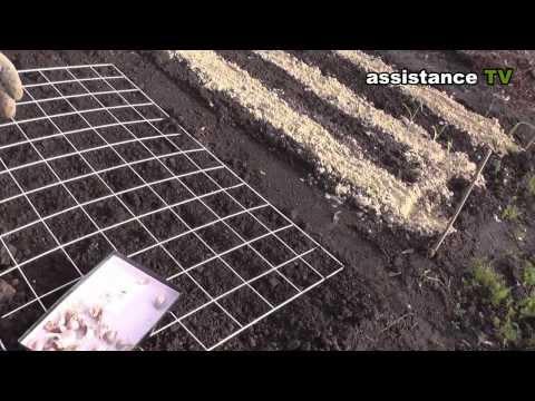 Выращивание чеснока -