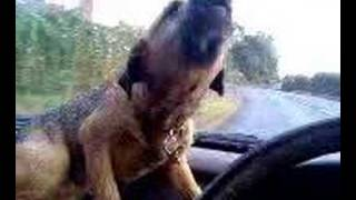 Barry The Singing Border Terrier Dog!