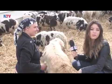 ILTV Piece on Jacob Sheep arrival in Israel
