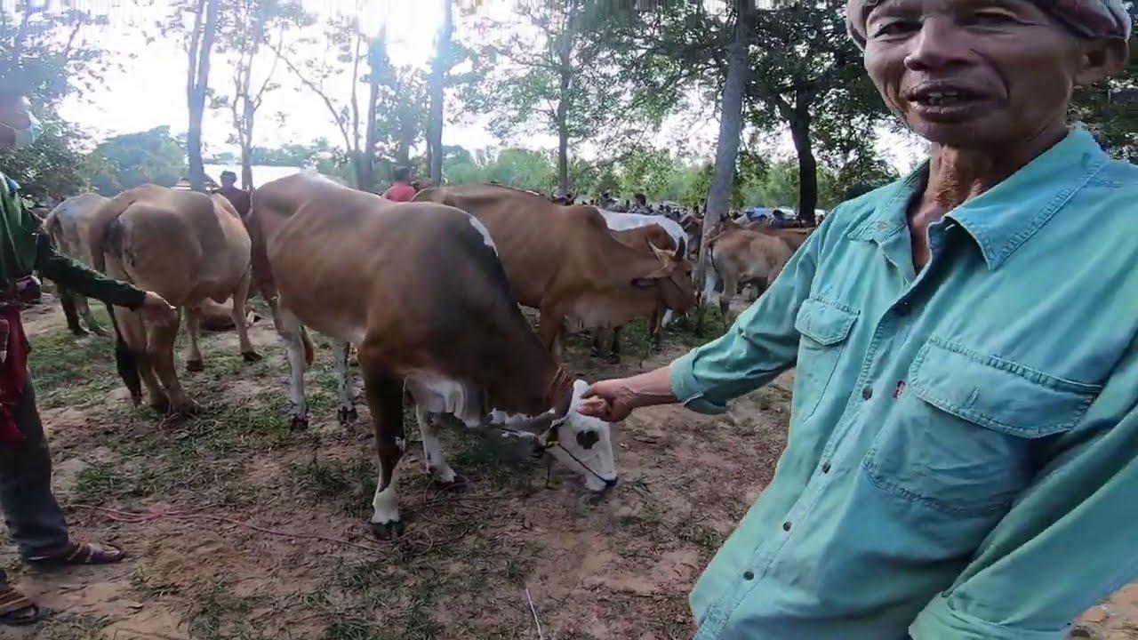 ราคาวัว วันนี้ ที่ ตลาดนัดห้วยฝ้าย อ.ตระการ จ. อุบลฯ