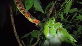 産卵中のモリアオガエルを捕食するヤマカガシ
