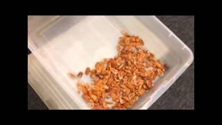 Medium All In One Pecan Nut Cracker and Sheller