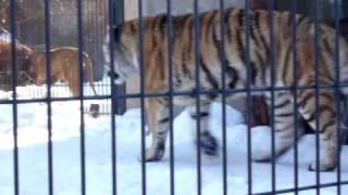 旭山動物園トラ.