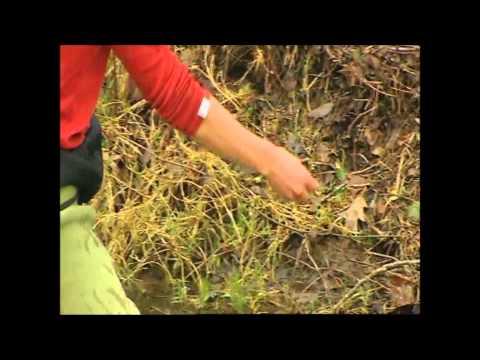 Repoblacion de angulas en el País Vasco