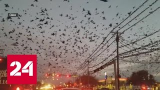 Техас атаковали граклы ВИДЕО   Россия 24