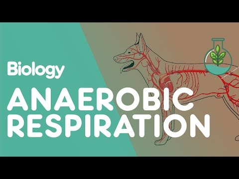 What Is Anaerobic Respiration | Biology for All | FuseSchool