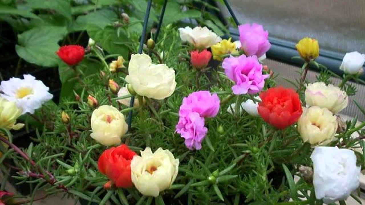 Cách trồng hoa Mười Giờ ra nhiều màu cực đẹp và nhanh tốt