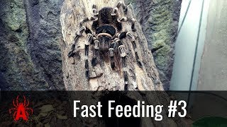 Fast Feeding #3 Acanthoscurria geniculata