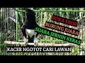 Masteran Kacer Gacor Full Isian Buka Ekor  Mp3 - Mp4 Download