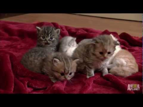 Thumbnail for Cat Video Munchkin Land | Too Cute!