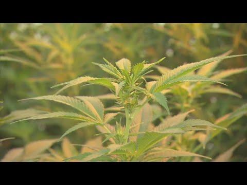 MN Senate Committee Defeats Recreational Marijuana Bill – Minnesota Alerts