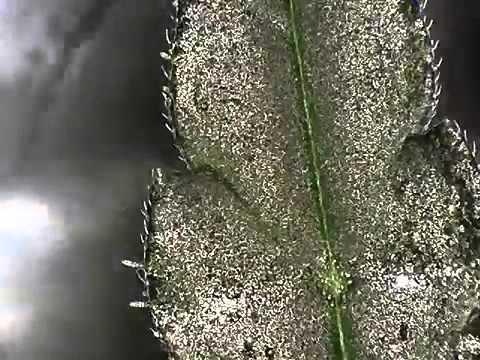 The anatomy of a Cannabis Leaf up close - YouTube