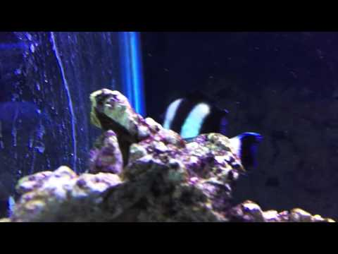 Species Spotlight Season 2 - The Four Stripe Damselfish - Episode 23