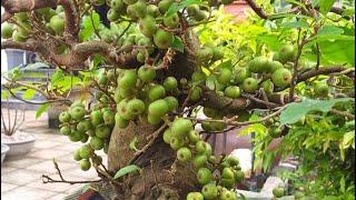 Cách làm cây sung ra quả p2
