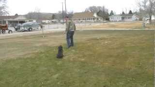Charcoal Silver Labrador Retriever Training Using Bill Hillmanns Methods