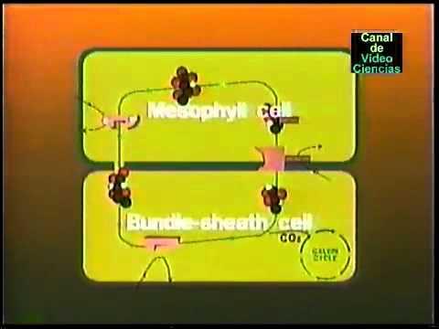 fotosintesis plantas C3 y C4