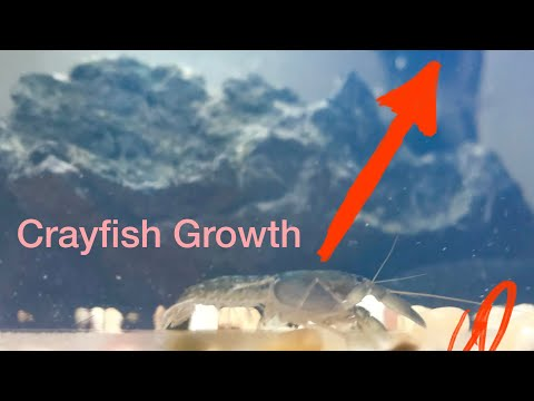 Crayfish Growth And Temperature | How Fast Should Your Crayfish Be Growing?