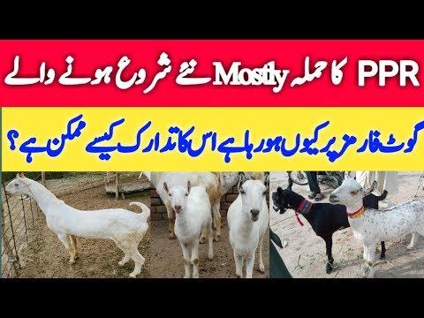 Goat Farming In Pakistan || Goat Farming Tips || How To Start A New Goat Farm