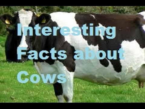 Interesting Facts about Cows - YouTube