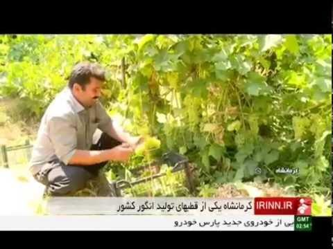 Iran Kermanshah province, Organic grapes picking برداشت انگور ارگانيك استان كرمانشاه ايران